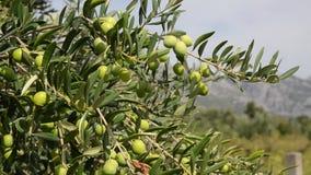 Olivenbaumplantage Organische Oliven wachsen auf Olivenbaum Landwirtschaft und olivgrüne Bearbeitung Produzieren des reinen Extra stock footage