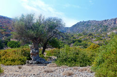 Olivenbaumtalfelsen, Lissos, Kreta Griechenland Stockbild