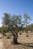 Olivenbaumwaldung stockfotografie