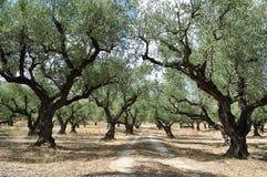 Olivenbaumwaldung Lizenzfreies Stockfoto