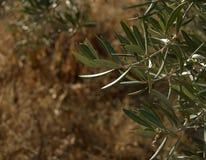 Olivenblätter Stockfoto