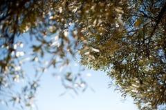 Olivenblätter Lizenzfreie Stockbilder