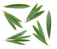 Olivenblätter lokalisiert auf Weiß, ohne Schatten Lizenzfreie Stockbilder