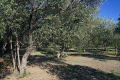 Olivenhain Stockbilder