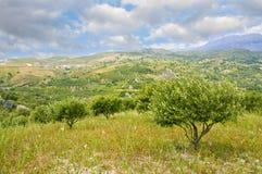Olivenbäume und bewölkter Himmel Stockfotos