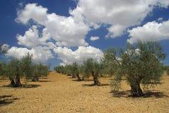 Olivenhain Stockfoto