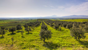 Olivenhain in Griechenland Stockfotos
