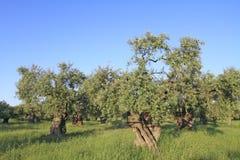 Olivenhain in Griechenland Stockfoto
