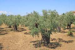 Olivenhain in Griechenland Stockfotografie