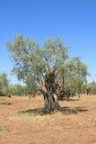 Olivenhain in Griechenland Lizenzfreie Stockfotos