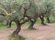 Olivenhain in Griechenland Zakynthos Stockfoto