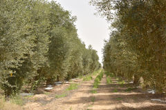 Olivenhain im negev, Israel Stockbilder