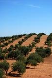 Olivenhain, nahe Bornos, Andalusien, Spanien. Lizenzfreies Stockbild