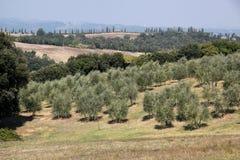 Olivenhain in Toskana lizenzfreie stockfotos