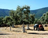 Olivenhain und Traktor Stockfoto
