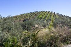 Olivenhainabhang in Andalusien Lizenzfreie Stockfotos