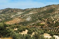 Olivenhaine, Andalusien Lizenzfreies Stockfoto