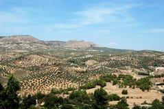 Olivenhaine in den Bergen, Priego-De Cordoba Stockbild