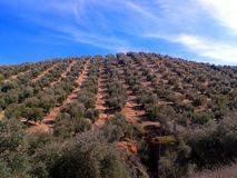 Olivenhaine, Granada-Provinz, Andalusien, Spanien Stockbild