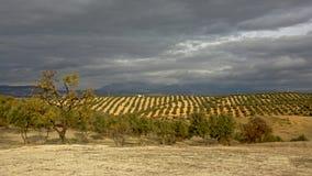 Olivenhaine unter dunklen Sturmwolken in der andalusischen Landschaft mit Bergen von Sierra Nevada im backgroud Lizenzfreies Stockbild