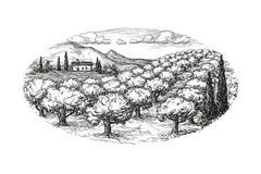Olivenhainlandschaft Lizenzfreies Stockbild