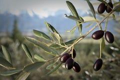 Olivenwachsendes auf Baum Stockbilder