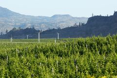 Oliver Area Vineyard in British Columbia`s South Okanagan. Rows of grape vines in the Okanagan wine country near Oliver, British Columbia Stock Image
