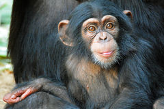 Oliver. A baby Chimpanzee at the Los Angeles Zoo Royalty Free Stock Photography