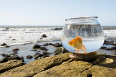 Oliver the Goldfish. Oliver was an abandoned Goldfish who was adopted ad taken on a road trip to the California Coastline in San Diego Stock Photography