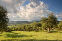 Oliveraies dans le chianti dans un beau jour en automne, Toscane photo libre de droits