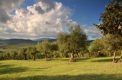 Oliveraies dans le chianti dans un beau jour en automne, Toscane photos libres de droits