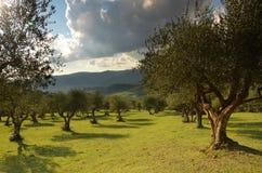 Oliveraies dans le chianti dans un beau jour en automne, Toscane images libres de droits