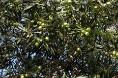 Olives à rassembler Images stock