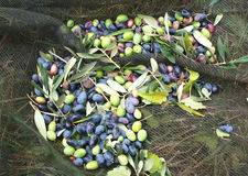 Olives. Freshly harvested olives ready for processing, Italy Royalty Free Stock Images