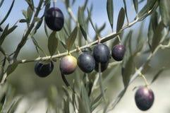 Olives Image stock