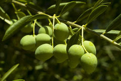 Olives. On the branch closeup Stock Images