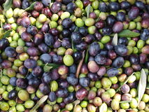 Olives. Olive harvest on the island of Elba Royalty Free Stock Photography