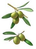Olives stock illustration