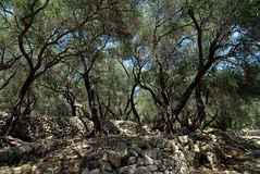 Olives. A traditional Greek olive orchard Royalty Free Stock Photography