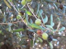 Olives3 сток-видео