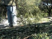 Olives4 vídeos de arquivo