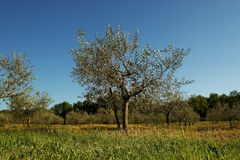 Olives. Olive trees stock photography