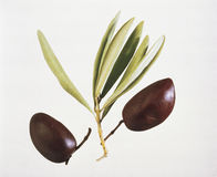 Olives. Two Black Olives On the Branch Royalty Free Stock Photos