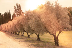 Olives alley in Provence, France Royalty Free Stock Image