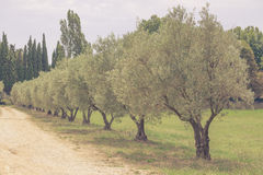 Olives alley in Provence, France Royalty Free Stock Photography