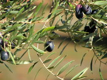 Olives in Andalucia 2. Olive trees in Andalucia, Spain with olives in foreground Royalty Free Stock Images