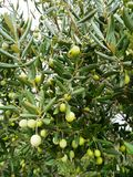 Olives in autumn Stock Photography