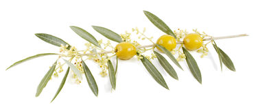 Olives and  blossom. Blossom  of an olive tree and tinned olives on a white background Stock Images