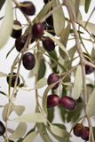 Olives on the branch Stock Photos