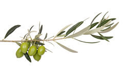 Olives on branch. Five green olives on branch Stock Images